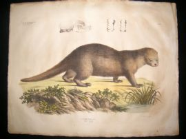 Goldfuss C1830 LG Folio Hand Colored Print. Otter